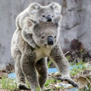 Resident Koala Introduces New Baby